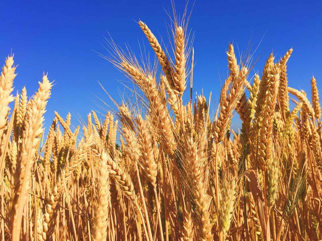 El rendimiento de cultivos genéticamente modificados